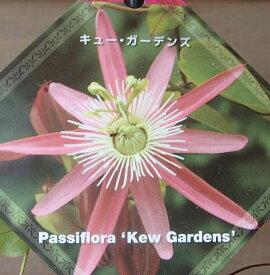 パッシフローラ(キューガーデンズ)【熱帯植物・トロピカルフラワー・パッシフローラ・時計草】