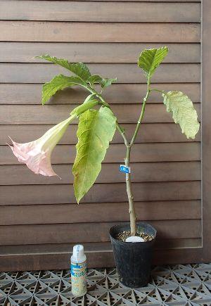 ピンク花系 エンジェルトランペット(咲き始めは黄色です!)「☆」