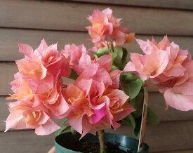 八重咲きブーゲンビレア(ブーゲンビリア)オレンジ色
