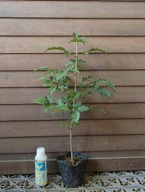 アオダモ(バットの木)ポット苗