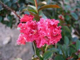 5寸鉢植え 矮性百日紅 赤花 (ワイセイサルスベリ)