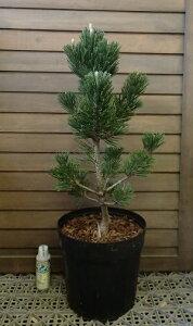 黒松 寿 8寸鉢植え