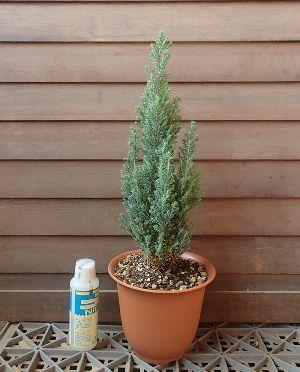シルバースター(コニファー)4寸鉢植え