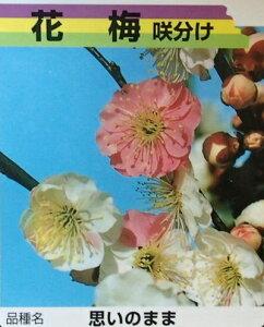 【6寸鉢植え】思いのまま 花梅 苗木 おもいのまま オモイノママ【庭木 花木 花梅 はなうめ ハナウメ】