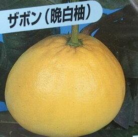 ザボン(晩白柚 バンペイユ)苗木《果樹苗》