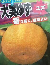 大実ユズ(本柚子)大実柚子 ゆず 苗木《果樹苗》