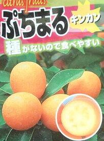 プチマル タネナシ金柑 苗木 ぷちまる キンカン きんかん《果樹苗》