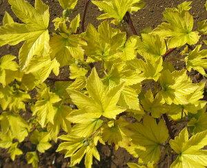 黄金葉 カジイチゴ(カジ苺) 《果樹苗》