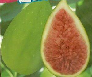 【大株】バローネ(バナーネ)ロングドゥート ジャンボイチジク《果樹苗》