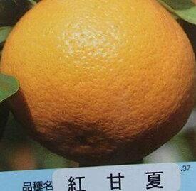 紅甘夏(ベニアマナツ)《果樹苗》