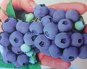 ブルーベリー チャンドラー【5寸鉢植え】 苗木 (ノーザンハイブッシュ系)《果樹苗》
