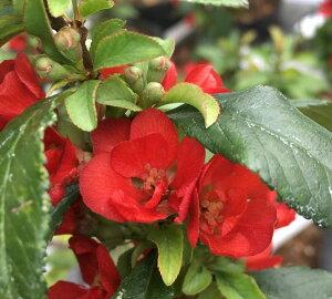 長寿梅 八重咲き(二重咲き) 赤花