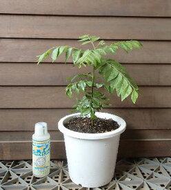 【5寸鉢植え】カレーノキ(カレーの木)カレーリーフの木
