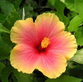 【ハイビスカス】【鉢植え】 ハイビスカス ミセスユミ【熱帯植物・トロピカルフラワー・ハワイアンフラワー・ハイビスカス】