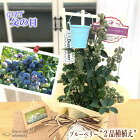 父の日ギフトブルーベリー大実系2品種植え5号鉢送料無料ギフト贈り物プレゼント