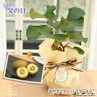 父の日ギフトキウイスーパーゴールド鉢植え5号鉢送料無料ギフト贈り物プレゼント