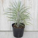 モンキーツリー クレイニア 観葉植物 9cmポット