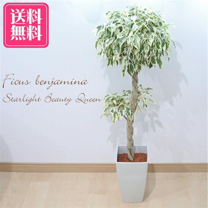 送料無料 ベンジャミン スターライト ビューティークイーン 6号鉢 観葉植物 インテリア