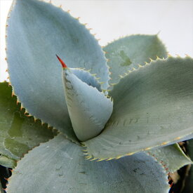 多肉植物 caアガベ ピグマエア ドラゴントゥース 多肉植物 アガベ 10.5cmポット