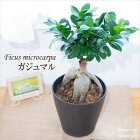 ガジュマル5号鉢観葉植物インテリアガジュマルの木