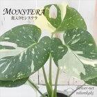 モンステラ希少斑入り4号鉢観葉植物インテリアインドアグリーン