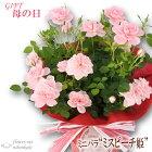 母の日ギフトミニバラミスピーチ姫4号鉢送料無料贈り物プレゼント花鉢植え