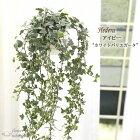 アイビーグレイシャー5号鉢吊り送料無料観葉植物苗インテリアヘデラ