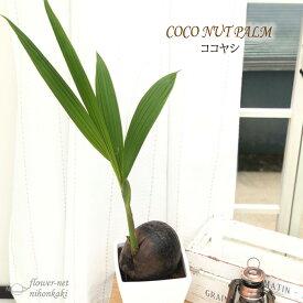 ココヤシ 6号鉢 陶器鉢 送料無料 観葉植物 苗 インテリア おしゃれ ココナッツパーム ヤシの実