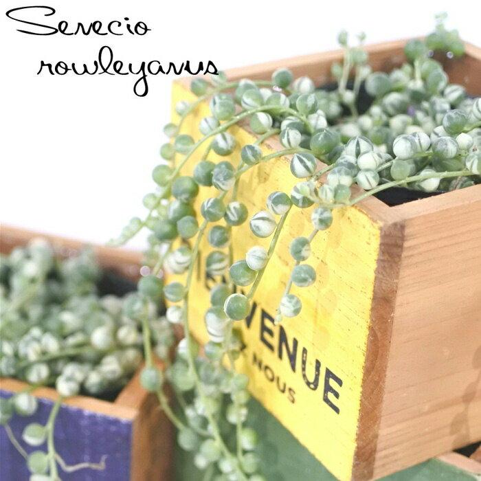 斑入りのグリーンネックレス(多肉植物 室内観葉 9cmポット)