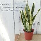 マイナスイオンで空気清浄サンスベリア・ローレンチ4号鉢観葉植物インテリアおしゃれ