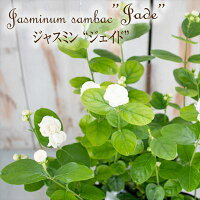 アラビアンジャスミン『ジェイド』(マツリカ・八重・4号鉢)