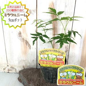 ミラクルニーム ポット苗 9cmポット 夏の虫よけ対策 ハーブ 天然植物性農薬 観葉植物