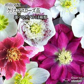 クリスマスローズ苗 選べるダブル14種類 杉光園芸 杉山交配 9cmポット