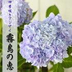 四季咲あじさい霧島の恵(アジサイ紫陽花ハイドランジア10.5cmポット)