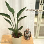 ストレチアレギネ6号鉢送料無料極楽鳥花観葉植物インドアグリーンインテリア