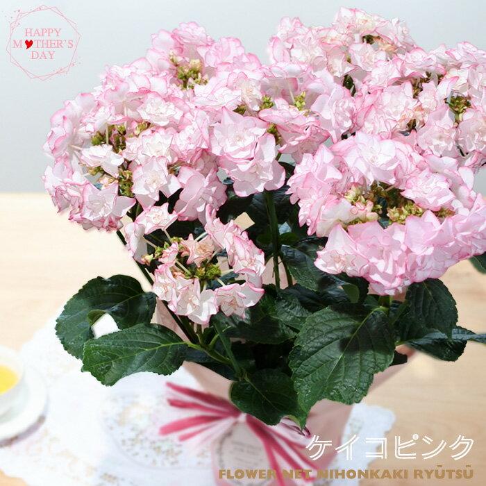 母の日ギフト アジサイ ケイコ(ピンク) 母の日 ギフト 贈り物 プレゼント あじさい 紫陽花 5号鉢 送料無料