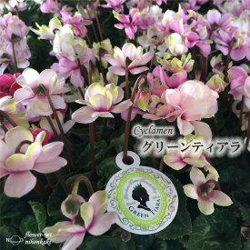 予約販売 八重咲きミニシクラメン グリーンティアラ 9cmポット 広原園オリジナル シクラメン 鉢花 ガーデニング