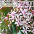 桜花月金のなる木4号鉢
