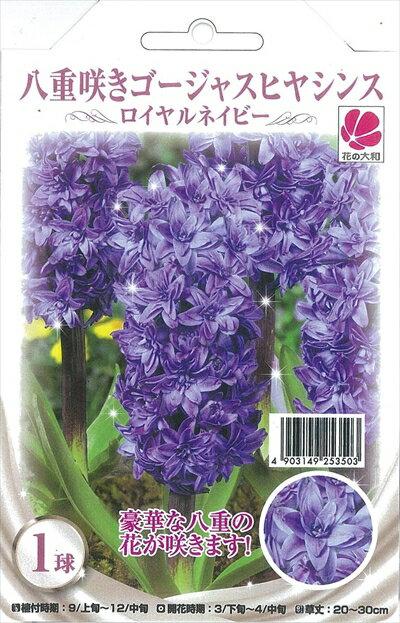 予約販売10月上旬以降発送 花の大和 球根 八重咲きゴージャス ヒヤシンス ロイヤルネイビー 1球