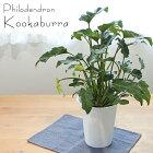 クッカバラフィロデンドロンザナドゥー6号鉢観葉植物
