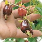 セレージャユーゲニアインボルクラータ13.5cmポット果樹庭木