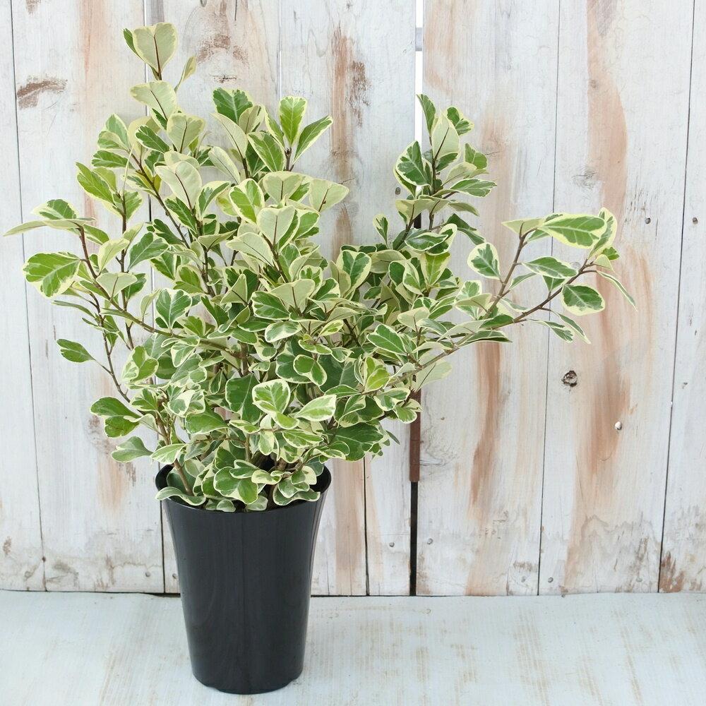 フィカス トライアンギュラリス スウィートハート 観葉植物 5号鉢