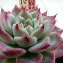 oriミックスベリア No.004 片想い 多肉植物 おらいさん苗エケベリア 6cmポット