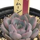 多肉植物 oriミックスベリア No.026 ブルーベリームーン 多肉植物 おらいさん苗エケベリア 6cmポット