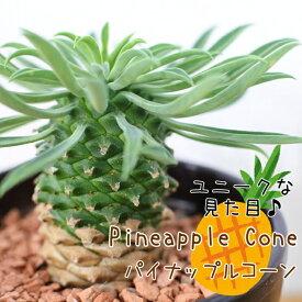 多肉植物 sdユーフォルビア パイナップルコーン 蘇鉄麒麟(サボテン・多肉植物・ミニ観葉植物)