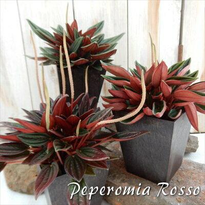 ペペロミア ロッソ 選べる3品種 観葉植物 4号