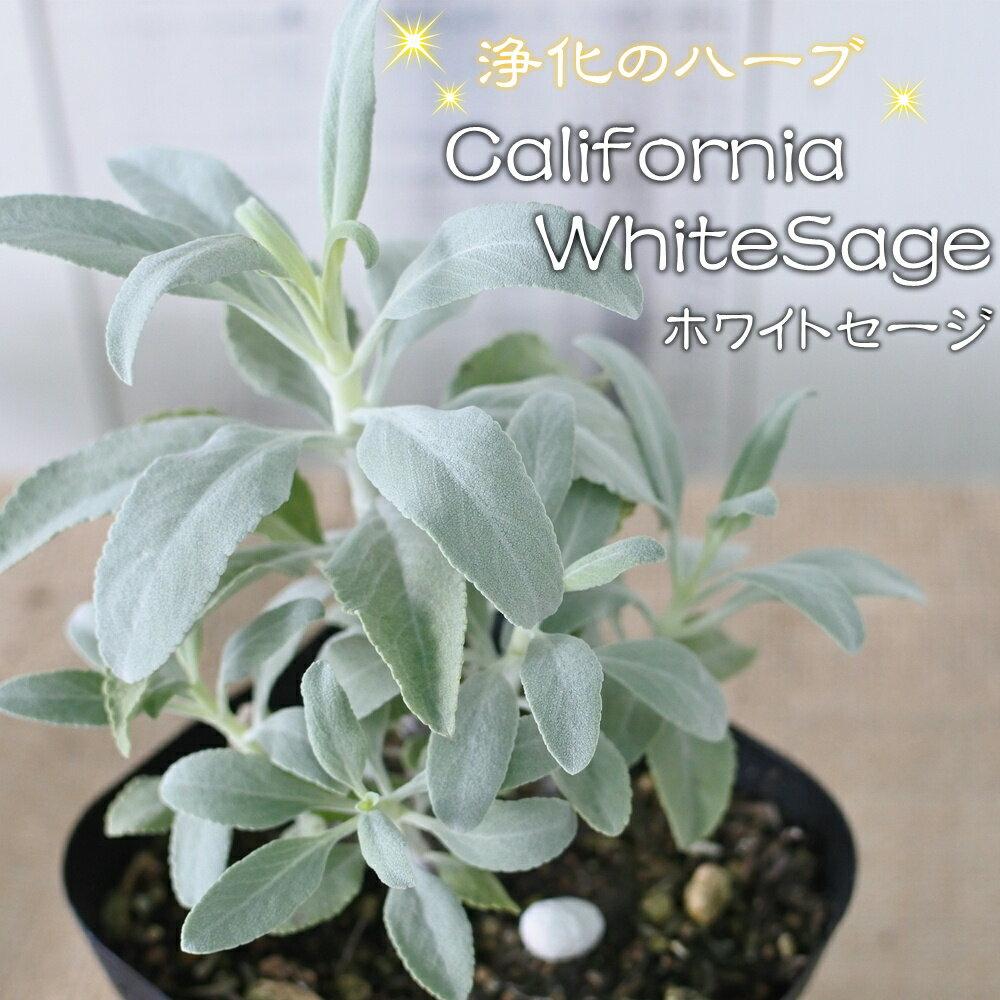 カリフォルニア ホワイトセージ 苗(ハーブ・スマッジング・宿根草) 10.5cmポット