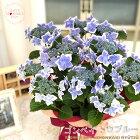 母の日ギフトガクアジサイコンペイトウブルー(母の日ギフト贈り物プレゼントあじさい紫陽花5号鉢)