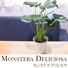 モンステラデリシオサ5号鉢観葉植物インテリアグリーン