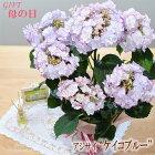 母の日ギフトアジサイケイコ(ブルー)母の日ギフト贈り物プレゼントあじさい紫陽花5号鉢